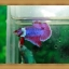 ปลากัดครีบสั้น-Fancy Halfmoon Plakats thumbnail 6