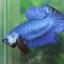 """(ขายแล้วครับ)""""คัดเกรด""""ปลากัดครีบสั้น-Halfmoon Plakats Fancy Blue thumbnail 1"""