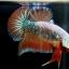 """ตอนรับปีใหม่""""คัดเกรด""""ปลากัดครีบสั้น-Halfmoon Plakats Fancy Dragon Orange thumbnail 6"""