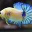 คัดเกรดปลากัดครีบสั้น-Halfmoon Plakad Fancy Marble Hi Quality Grade thumbnail 7