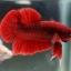"""(ขายแล้วครับ)""""คัดเกรด""""ปลากัดครีบสั้น-Halfmoon Plakats Red thumbnail 7"""