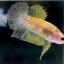 """(ขายแล้วครับ)""""คัดเกรด""""ปลากัดครีบสั้น-Halfmoon Plakats Fancy Yellow Koi thumbnail 6"""