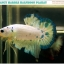 """""""คัดเกรด""""ปลากัดครีบสั้น-Halfmoon Plakats Fancy Marble thumbnail 7"""