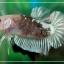 """(ขายแล้วครับ)""""คัดเกรด""""ปลากัดครีบสั้นเนียนๆสวยขั้นเทพ-Halfmoon Plakats Fancy Koi thumbnail 6"""