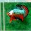 """(ขายแล้วครับ)""""คัดเกรดประกวด""""ปลากัดครีบสั้น-Over Halfmoon Plakats Fancy Dragon Green Orange Monster Quality Grade thumbnail 12"""