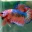 (ขายแล้วครับ)Fancy Orange Over ปลากัดครีบสั้น-Halfmoon Plakats thumbnail 6