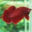 """(ขายแล้วครับ)""""คัดเกรด""""ปลากัดครีบสั้น - Halfmoon Plakats SUPER RED02 thumbnail 1"""
