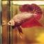 """(ขายแล้วครับ)มังกรแดง""""คัดเกรด""""ปลากัดครีบสั้น-Halfmoon Plakats Red Dragon thumbnail 7"""