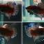 (ขายแล้วครับ)ปลากัดครีบสั้น - Halfmoon Plakats thumbnail 2