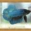 *ปลาเกรดพิเศษ* ปลากัดครีบสั้น - Halfmoon Plakats thumbnail 4