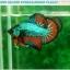 """(ขายแล้วครับ)""""คัดเกรดประกวด""""ปลากัดครีบสั้น-Over Halfmoon Plakats Fancy Dragon Green Orange Quality Grade thumbnail 7"""