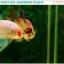 """(ขายแล้วครับ)""""คัดเกรด""""ปลากัดครีบสั้น-Halfmoon Plakats Fancy Koi Quality Grade thumbnail 13"""