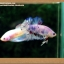 คัดเกรดปลากัดครีบสั้น- Halfmoon Plakat Fancy Dragon thumbnail 5