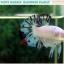 """(ขายแล้วครับ)""""คัดเกรด""""ปลากัดครีบสั้น-Halfmoon Plakats Fancy Marble Quality Grade thumbnail 10"""