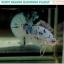 """(ขายแล้ว)""""คัดเกรด""""ปลากัดครีบสั้น-Halfmoon Plakats Fancy Dragon Marble thumbnail 6"""