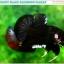 """(ขายแล้วครับ)""""คัดเกรด""""ปลากัดครีบสั้น-Halfmoon Plakats Fancy Black Quality Grade thumbnail 1"""