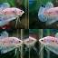 (ขายแล้วครับ)ปลากัดครีบสั้น Halfmoon Plakats Fancy thumbnail 1