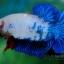 """(ขายแล้วครับ)""""คัดเกรด""""ปลากัดครีบสั้น-Halfmoon Plakats Fancy Dragon Blue thumbnail 1"""