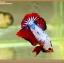 +ส่งท้ายปีเก่าตอนรับปีใหม่+ปลากัดครีบสั้น-Halfmoon Plakat Fancy Dragon thumbnail 6