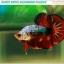 """""""คัดเกรด""""ปลากัดครีบสั้น-Halfmoon Plakats Fancy Dragon Devil Short Body thumbnail 3"""