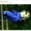คัดเกรดปลากัดครีบสั้น-Halfmoon Plakat Super Blue thumbnail 5