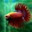 (ขายแล้วครับ)ปลากัดครีบยาวหางมงกุฎ-Crowntails Red thumbnail 6
