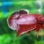 (ขายแล้วครับ)ปลากัดครีบสั้น - Halfmoon Plakats RED2 thumbnail 6