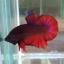 ปลากัดคัดเกรดครีบสั้น - Halfmoon Plakad Fancy Dragon(อสูร) Quality Grade thumbnail 2