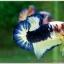 Hi - Premium Grade AAA+ คัดเกรดปลากัดครีบสั้น-Over Tails Halfmoon Plakad Fancy Blue Marble thumbnail 3