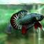 """(ขายแล้วครับ)""""คัดเกรด""""ปลากัดครีบสั้น-Halfmoon Plakats Fancy Dragon Green Red thumbnail 3"""
