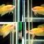 """(ขายแล้วครับ)""""คัดเกรด""""ปลากัดครีบสั้น-Halfmoon Plakats Super Yellow thumbnail 1"""