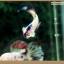 คัดเกรดปลากัดครีบสั้น-Halfmoon Plakat Fancy Blue Dragon and Marble thumbnail 6