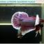 """(ขายแล้วครับ)""""คัดเกรด""""ปลากัดครีบสั้นหูช้าง-Halfmoon Plakats Big Ear Lavender thumbnail 11"""
