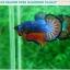 """(ขายแล้วครับ)""""คัดเกรดประกวด""""ปลากัดครีบสั้น-Over Halfmoon Plakats Fancy Dragon Blue Orange Quality Grade thumbnail 7"""