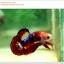 คัดเกรดปลากัดครีบสั้น-Hi- Quality Halfmoon Plakat Fancy Red Black Eye Quality Grade thumbnail 6