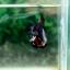 "(Sold Out)""คัดเกรด""ปลากัดครีบสั้น-Halfmoon Plakats Fancy Green Dragon thumbnail 5"