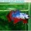 """(ขายแล้วครับ)""""คัดเกรด""""ปลากัดครีบสั้น-Halfmoon Plakats Fancy Dragon Nice colors thumbnail 3"""