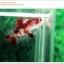 คัดเกรดปลากัดครีบสั้น-Halfmoon Plakat Fancy Red Koi thumbnail 3