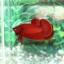 """(ขายแล้วครับ)""""คัดเกรด""""ปลากัดครีบสั้น-Halfmoon Plakats Super Red#2 Grade B+ thumbnail 7"""