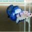 """(ขายแล้วครับ)""""คัดเกรด""""ปลากัดครีบสั้น-Halfmoon Plakats Blue Dragon thumbnail 3"""