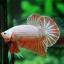 คัดเกรดปลากัดครีบสั้น-Halfmoon Plakad Fancy Orange Dragon Hi Quality Grade thumbnail 2