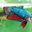 (ขายแล้วครับ)ปลากัดครีบสั้น - Fancy Halfmoon Plakats thumbnail 3