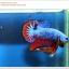 คัดเกรดปลากัดครีบสั้น-Halfmoon Plakat Fancy Blue Red Dragon thumbnail 3