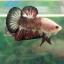 """(ขายแล้วครับ)ตอนรับเทศกาล สงกรานต์ """"คัดเกรด""""ปลากัดครีบสั้น-Halfmoon Plakats thumbnail 3"""