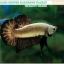 (ขายแล้วครับ)+แถมตัวเมีย+ปลากัดครีบสั้น-Halfmoon Plakat Black Dragon Copper thumbnail 6