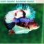 """(ขายแล้วครับ)""""คัดเกรดประกวด""""ปลากัดครีบสั้น-Halfmoon Plakats Fancy Dragon Koi Quality Grade thumbnail 4"""