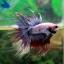 (ขายแล้วครับ)ปลากัดครีบยาวหางมงกุฏ-Crowntails Fancy thumbnail 3