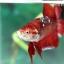 (ขายแล้วครับ)ปลากัดครีปสั้น - Fancy Halfmoon Plakats thumbnail 6