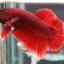 """(ขายแล้วครับ)""""คัดเกรด""""ปลากัดครีบสั้น-Halfmoon Plakats Red thumbnail 8"""
