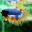 (ขายแล้วครับ)ปลากัดครีบยาวหางมงกุฎ-Crowntails04 thumbnail 4